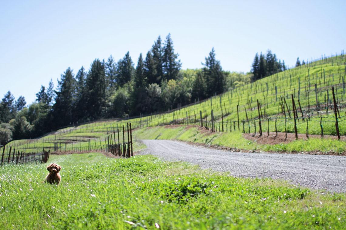 suma-dog-001-bella-winery-healdsburg-california-deborah-coleman-photography-20110403Suma01
