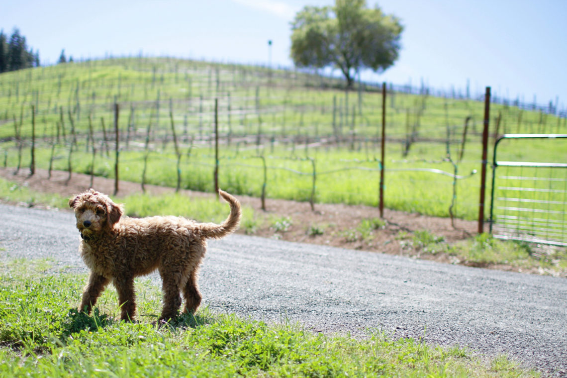 suma-dog-002-bella-winery-healdsburg-california-deborah-coleman-photography-20110403Suma03