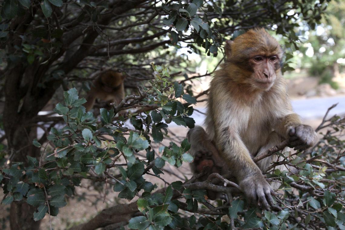 morocco-021-middle-atlas-mountains-barbary-macaque-monkey-travel-photographer-deborah-coleman-photography-20150514MoroccoMiddleAtlasMountainsBarbaryMacaqueMonkeys005